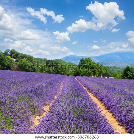 Lavender flowers field with summer blue sky, France - stock photo