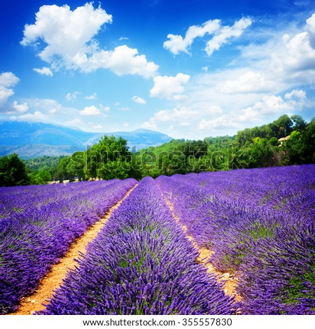 Lavender flowers field with summer blue sky, France, retro toned - stock photo
