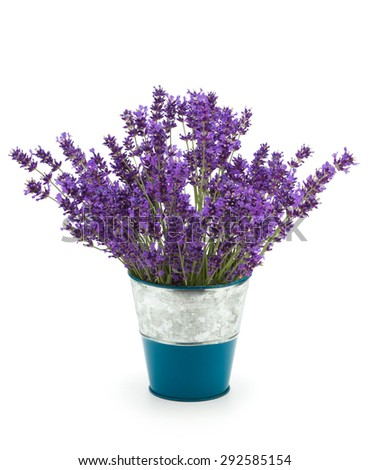 Lavender flowers in a pot on white background - stock photo