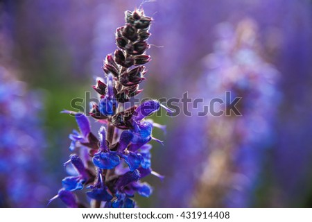 Lavender flowers in macro photography at sunset light - stock photo