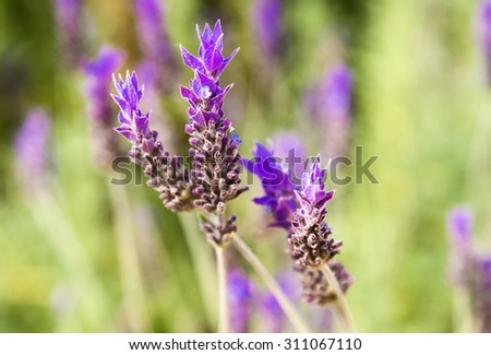 lavender flowers in the field. - stock photo