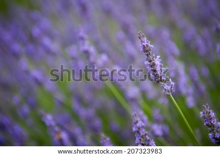 Lavender flowers isolated, close up of a lavender shrub