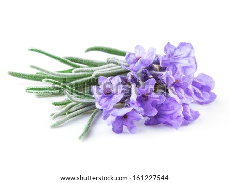 Lavender. Flowers isolated on white - stock photo