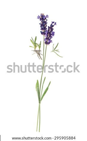 Lavender flowers isolated on white background. Twigs with fresh blossoms - stock photo
