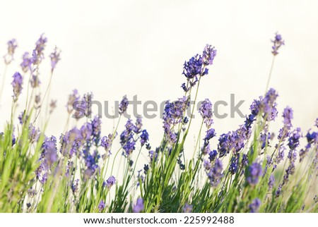 lavender flowers on a meadow at summertime, shallow depth of field - stock photo
