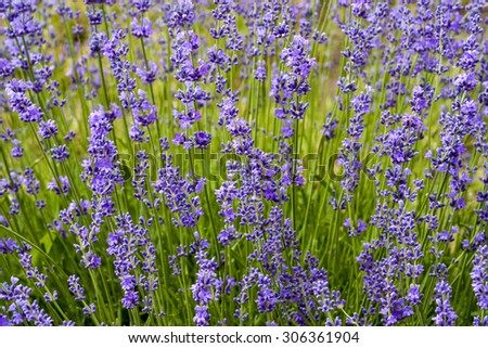 lavender flowers on green grass background