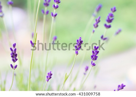 Lavender flowers on the background of herbs - stock photo