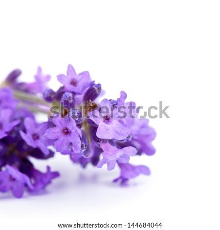 Lavender flowers on white background. Macro shot - stock photo