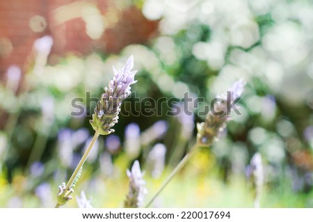 Lavender flowers, selective focus  - stock photo