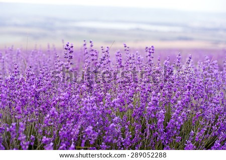 lavender flowers - Sunset over a summer purple lavender field . Bunch of scented flowers in the lavanda fields of the French Provence near Valensole - stock photo