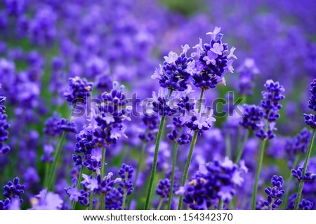 Lavender garden, north of Japan - stock photo