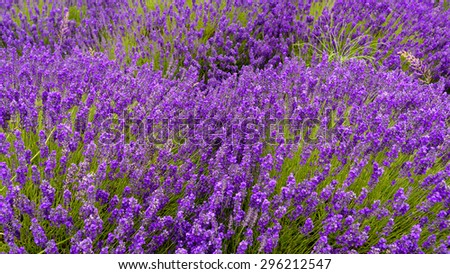 Lavender  growing  in a field at peak bloom in Sequim, Washington, US. Sequim is the lavender Capital of North America. Lavender is a beautiful aroma herbal flower. Close-up view lavenders. Panoramic
