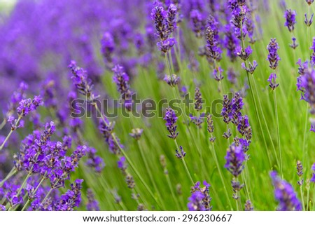 Lavender  growing  in a field at peak bloom in Sequim, Washington, US. Sequim is the lavender Capital of North America. Lavender is a beautiful aroma herbal flower. Close-up view lavenders