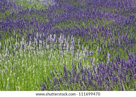 Lavender grows in a field creating abstract pattern of purple and white