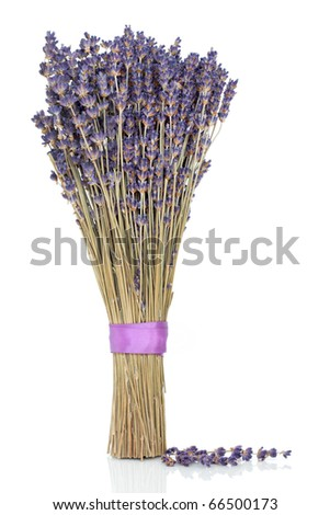 Lavender herb flower sprigs tied in a bunch with a purple ribbon and scattered, over white background. - stock photo