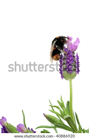 Lavender herb flowers with a bumble bee gathering pollen, over white background. - stock photo