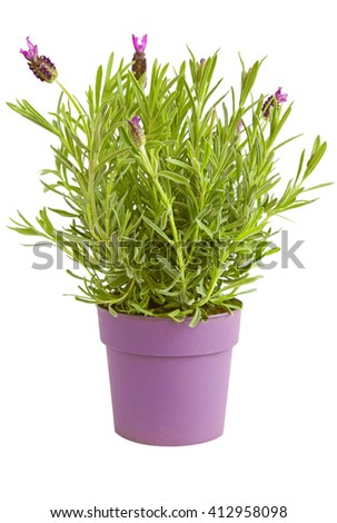 Lavender herb plant in a pot with few flowers   - stock photo
