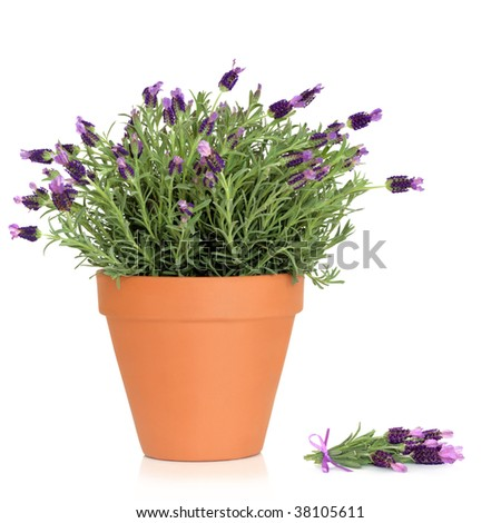 Lavender herb plant in flower growing in a  terracotta pot, with flower sprig, over white background. - stock photo