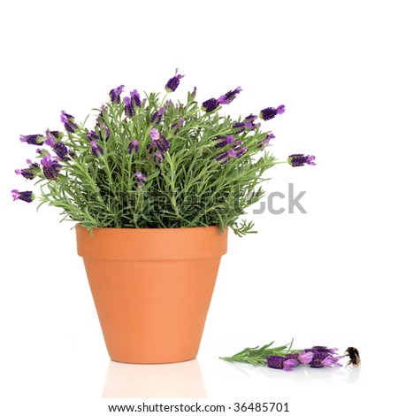 Lavender herb plant in flower growing in a terracotta pot with flowers and a bumblebee over white background. - stock photo