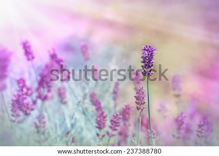 Lavender illuminated by sunlight - stock photo