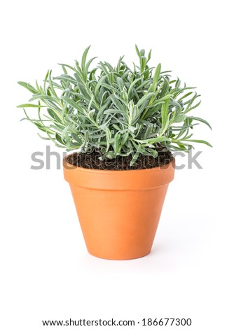 Lavender in a clay pot - stock photo