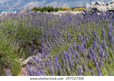 Lavender in a sunny, rocky field on Hvar, Croatia - stock photo