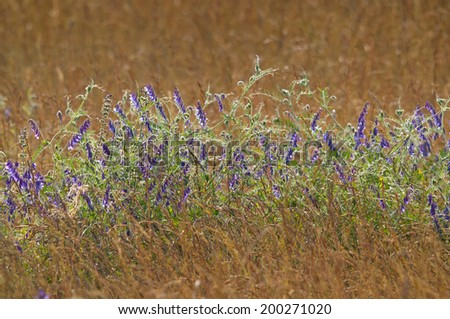 Lavender in cornfield grainfield - stock photo