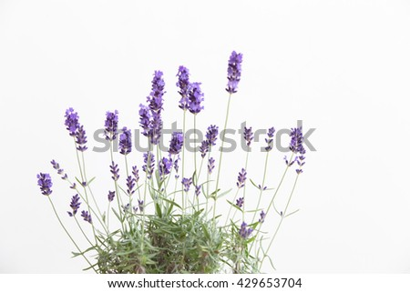 Lavender in the interior. blooming lavender. Provence Interior. Lavender on a white wall