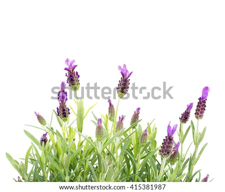 lavender isolated on white background, copy space