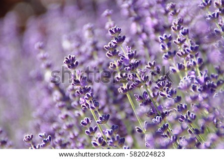 Lavender, Lavandula spica,  Lavandulae