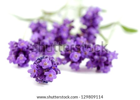 Lavender. Lavender -  Bunch of lavender flowers isolated on a white background. Lavender. Lavender herbs. Lavender. flower.Lavender.  Lavender bunch. Lavender. Lavender herb.