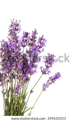 Lavender, Lavender Coloured, Flower.