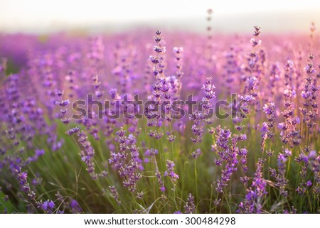 Lavender. Lavender field at Lavender. Sunset time .