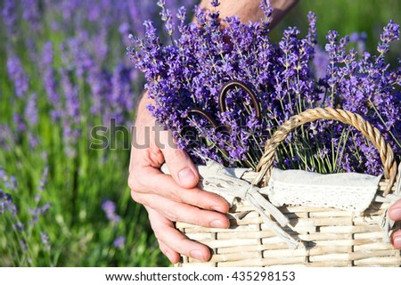 Lavender. Male hands cuts scissors lavender flowers. Hand touching lavender, feeling nature