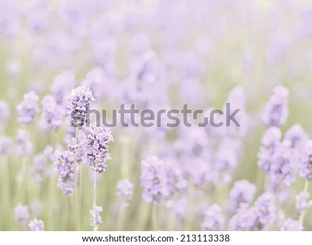 Lavender meadow background with instagram style filter - stock photo