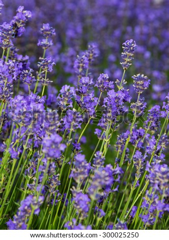 lavender on a field in detail - stock photo