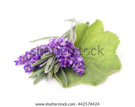 lavender on the white background - stock photo