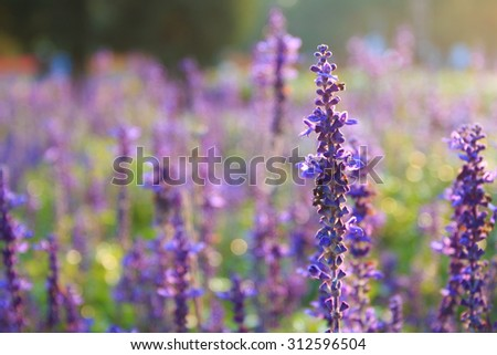 Lavender open in the spring