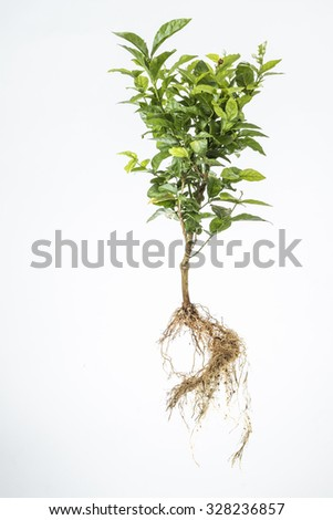 Lavender plant on a white isolated background
