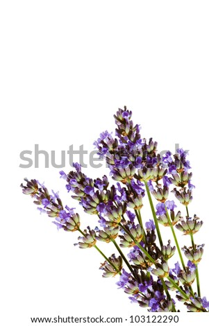 Lavender sprigs in bloom, macro photo isolated against white background.