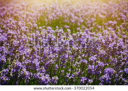 Lavender Summer Field in Sunny Day - stock photo