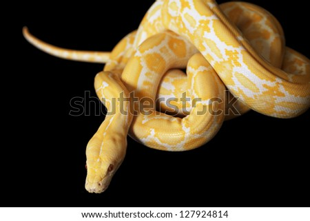Lavender Tiger Albino python isolated on black background - stock photo