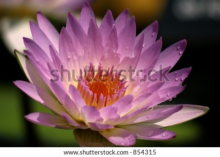 Lavender water lily in bloom