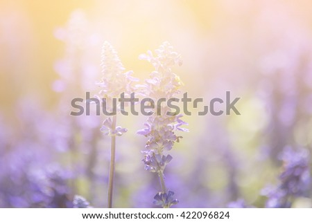 Lavender  with sunlight,soft focus - stock photo