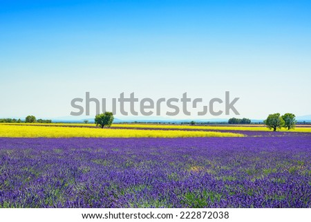 Lavender, yellow flowers blooming field and trees. Valensole, Provence, France, Europe. - stock photo