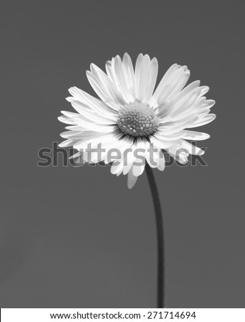 Lawn daisy, Bellis perennis - stock photo