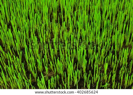 Lawn grass sprouting - stock photo