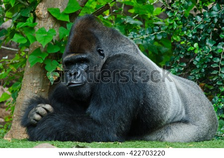 Layed Gorilla