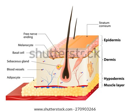 Layers Human Skin Epidermis Horny Layer Stock Illustration 270903266