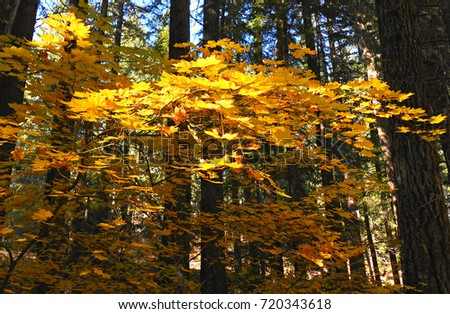 Layers of Leaves - Maples along State Hwy 242 on the west side of McKenzie Pass - OR